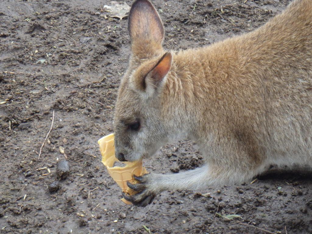 Kangoeroe eet ijsje