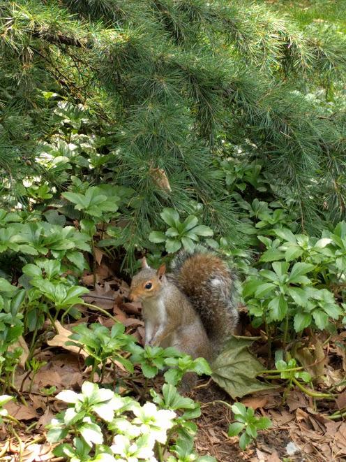 eekhoorn/chipmunk NY