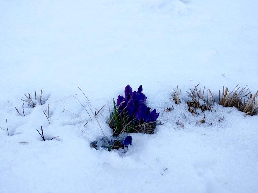 bloemetjes piepen tussen het sneeuw op de High Line