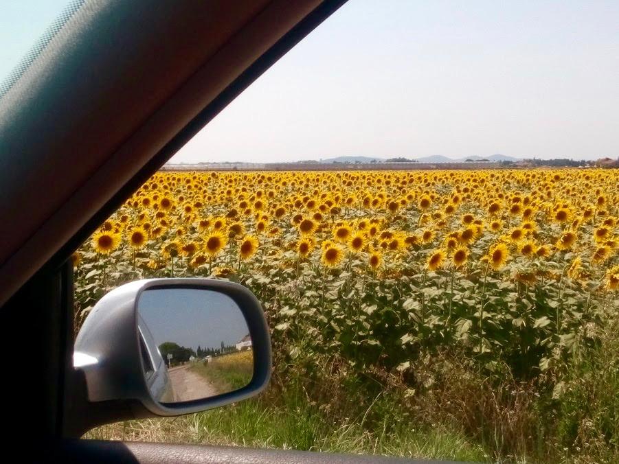 Veld met zonnebloemen in Fontvieille, zuiden van Frankrijk