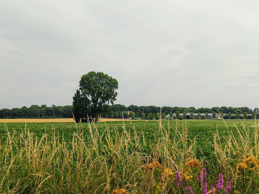 Eenzame bomen in het midden van een weide met in de voorgrond kleurrijke korenbloemen